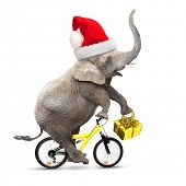 African elephant with santa's cap riding a bike. Christmas gifts for all.
