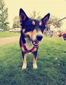 picture of cattle dog  -  a cute dog in the grass at a park during summer toned with a retro vintage instagram filter effect - JPG