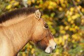 Przewalski's Horse Portrait