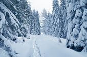 Christmas landscape. Winter Wonderland. Snow-covered trees in a mountain forest