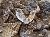 Close-up of a coiled puff adder (Bitis arietans) snake ready to strike, South Africa