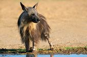 A brown hyena (Hyaena brunnea) at a waterhole, Kalahari desert, South Africa