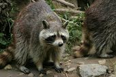 raccoon_1