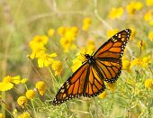 Migrating female Monarch butterfly feeding on a Sneezeweed