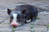 stock photo of piglet  - Portrait of little funny black vietnam piglet lying on the ground - JPG