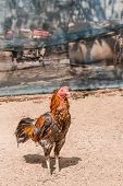 stock photo of cockfight  - big  chicken red Cockfight  at Asia Thailand - JPG