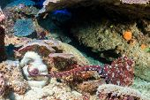 pic of animals sex reproduction  - Male and Female Reef Octopus mating on a coral reef - JPG