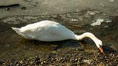 White swan on frozen lake searching food II.