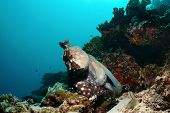 picture of mimicry  - A big octopus is changing colours and ready to swim away S - JPG
