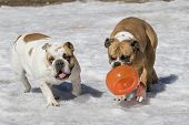 Two bulldogs in the snow