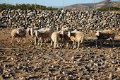 Sheep Walking In Mountain