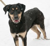 image of spotted dog  - Black dog with red spots standing on snow background - JPG