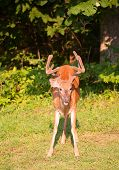 stock photo of antlers  - Big whitetail buck at a forest edge with velvet antlers