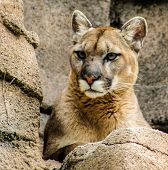 pic of mountain lion  - Mountain lion perches on a high ledge and looks alert - JPG