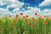 red poppies on green field under cloudy sky