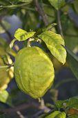 Citron Fuit