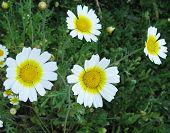 image of chrysanthemum  - Garland chrysanthemum  - JPG