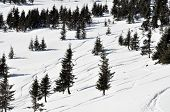 Ski Tracks In The Fresh Powder Snow And Fir Trees