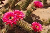 stock photo of desert christmas  - Pink blossoming flowers on a cactus in the desert - JPG