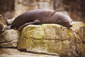 Lazy Sea Lion Sleeping On A Rock
