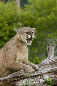 foto of cougar  - Adult cougar snarling with front paws on a log - JPG