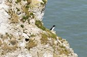 stock photo of cliffs  - Razorbill on the cliffs at bempton cliffs breeding colony England