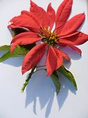 pic of poinsettias  - Poinsettia flower on white background. The sun came out so there is a shadow. ** Note: Shallow depth of field - JPG