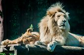 pic of mating  - Lion mates relaxed on a sunny day - JPG