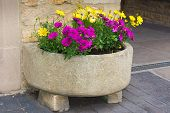 image of trough  - Stone trough with yellow and purple daisies - JPG