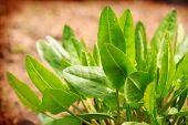 stock photo of sorrel  - Fresh sorrel in the summer garden grow - JPG