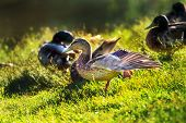 picture of spread wings  - Female duck standing on one leg spreading wings on the lake shore  - JPG