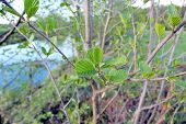 picture of alder-tree  - young green leaves of alder in the spring - JPG