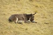 picture of dry grass  - lonely donkey lying on the dry grass in the field - JPG