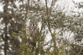 stock photo of snow owl  - A lone Great Grey Owl in a tree - JPG