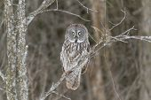 image of snow owl  - A lone Great Grey Owl in a tree - JPG