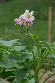 image of solanum tuberosum  - Potato plant blooming in the garden - JPG