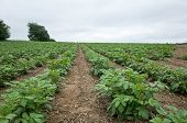 pic of solanum tuberosum  - Potatoes growing on a rolling hillside in Central PA on a cloudy overcast day - JPG