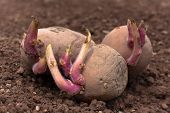 foto of germination  - germinating potato before the planting in the vegetable garden - JPG