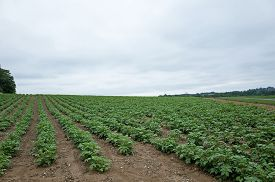stock photo of solanum tuberosum  - Potatoes growing on a rolling hillside in Central PA on a cloudy overcast day - JPG