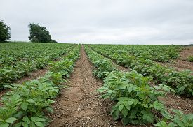 foto of solanum tuberosum  - Potatoes growing on a rolling hillside in Central PA on a cloudy overcast day - JPG