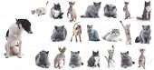 Collection of a cats isolated over white background (five breeds) + 1 bonus dog.