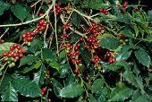 unpicked coffee beans on bush wide orientation