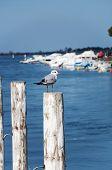 seagull on the pole