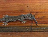 Gecko Eating Dragonfly, Roatan, Honduras, Lizard, Dragon