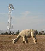 Grazing Alpaca