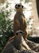 image of pack-rat  - another shot of the meerkats are they are kept alert for danger - JPG