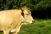 stock photo of bestiality  - cattle - JPG