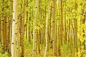 Colorado Fall Foliage Aspen Landscape