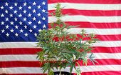 Marijuana Plant in front of an American Flag. Female Marijuana Flowers. Inside a house. poster