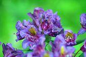 Azalea or rhododendron in garden. Season of flowering azaleas (rhododendron). poster